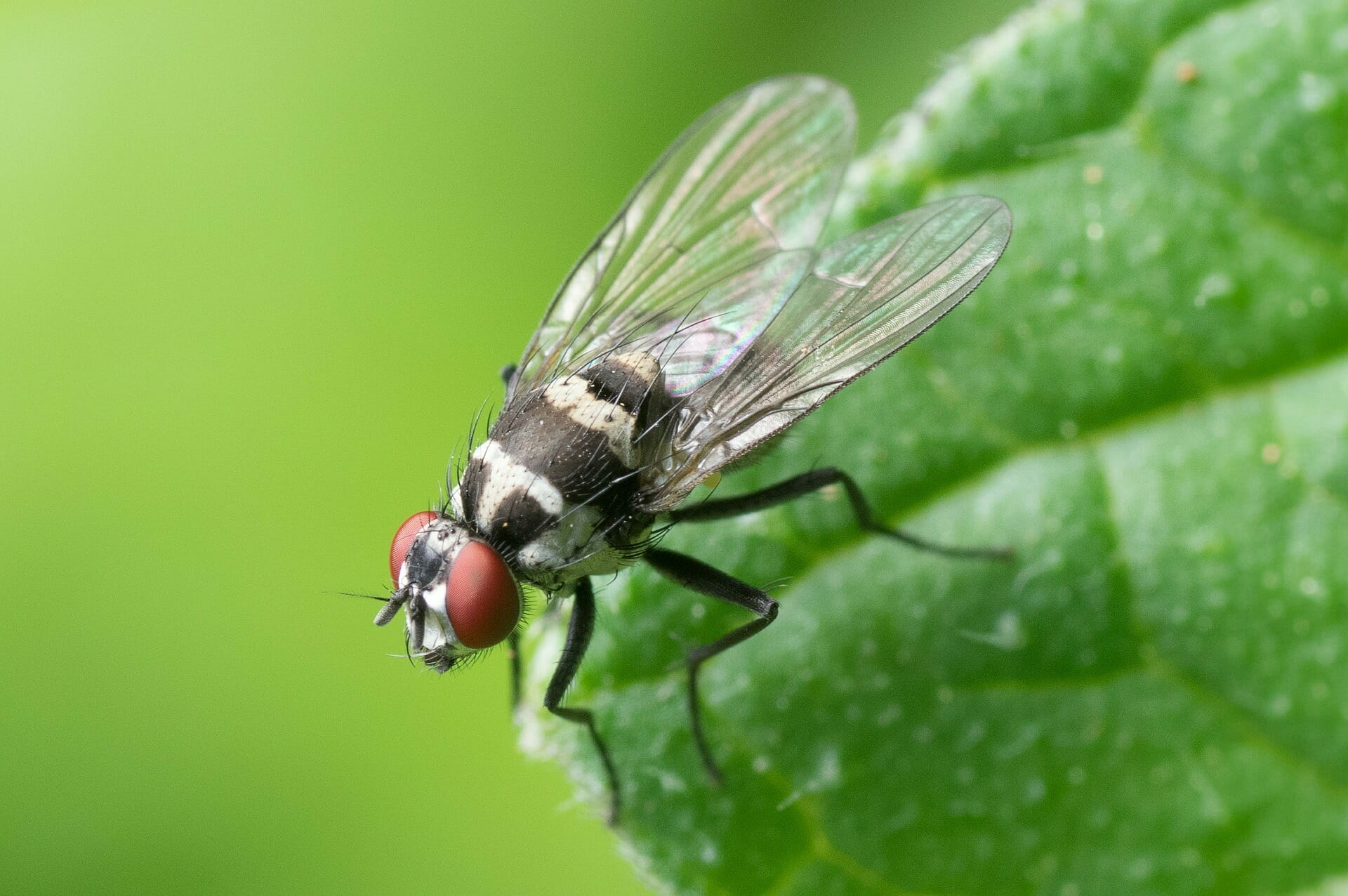 common-fly-447307_1920